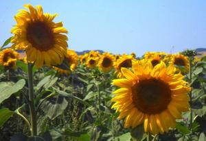 Sydfranska solrosor.