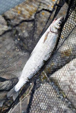 Fisken på bilden har inget med artikeln att göra.