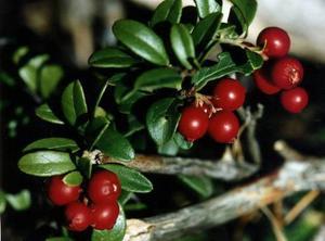 Lingonris är grönt och vackert året om - även om de vackra bären tyvärr inte lyser upp i vintermörkret.