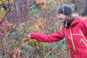 Slöjden är av tradition ekologisk. Anna-Lisa Persson går ut i skogen för att leta röda bär till en höstmobil inför workshopen i Söderhamn.