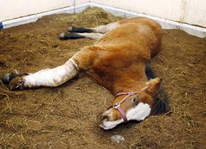 """""""Att behöva åka 53 mil med en sjuk häst är djurplågeri"""", skriver insändarskribenten.Foto: jan andersson"""