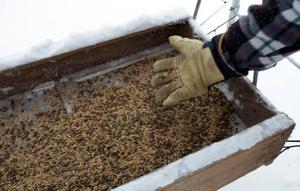 Rådjursgodis. Pellets blandat med havrekross gör rådjuren glada när de inte kommer åt födan i marknivå för all snö.