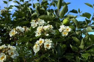Honungsrosen. Ända upp i äppelträdet har den rikligt blommande ljuvligt doftande honungsrosen slingrat sig och fortsätter att sträva upp mot skyn.