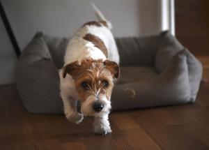 Nyårsfirande kan bli besvärligt för hundar.