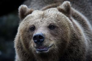Totalt 48 björnar får fällas under årets licensjakt i Dalarna.