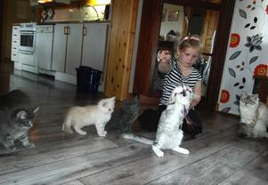 Lina Johansson leker med de gulliga kattungarna hemma i familjens kök. Kattungarna är av rasen Sibirisk katt, men längst till höger sitter Shico som en av de förstfödda katterna i Sverige av rasen Neva masquerade. Foto:Karin Janson