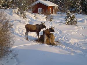 Under senvintern har vi haft täta besök av denna älgko med kalv vid vår höbal. Platsen är Sinnberg Fåker. Foto: Stefan Landgren