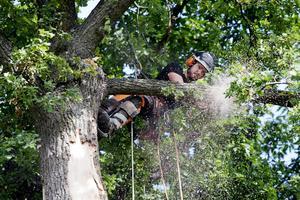 En gren sågas ned. Här är arboristen Chris Benson som arbetar.