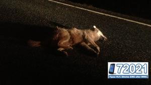 Den döda vargen hittades mitt på vägen av förbipasserande.