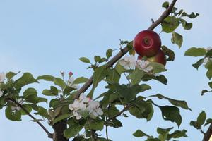 Äppelträdet.