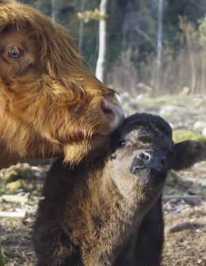 Margit lever i dag som en ko och har hittills fått två egna kalvar.