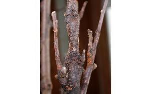 Exempel på grenar som är angripna av frukträdskräfta, en svampsjukdom.Foto: KLARA GRÖNDAHL