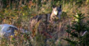 Här är vargen som attackerar får.