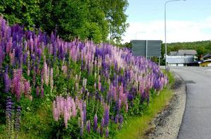 Lupinen har blivit ett riktigt sommartecken i större delarna av Sverige, men den invasiva arten är allt annat än bra för den svenska faunan.