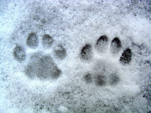 En draghund måste klara kyla bra.