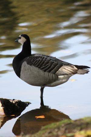 Ensam swan ...Migrera eller inte, det är frågan.
