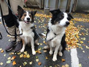 Hundar har tusen gånger starkare luktsinne än människor. Floyd och Vilja är av rasen border collie.