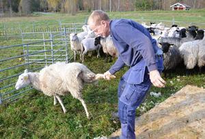 Det kan se lite brutalt ut, men Per Eriksson vet precis hur han ska ta tag i bakbenet för att få fåret med sig utan att skada uppstår.