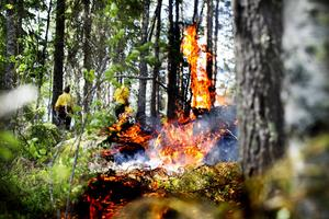 Den tjocka barken gör att tallarna överlever bränningen och fröna gror bra på den nybrända marken.