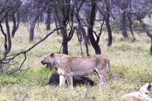 Ett par lejon uppehöll sig vid en dödad buffel och ansattes efter ett tag av en grupp hyenor som också ville få del av bytet. FOTO: Sune Liljevall
