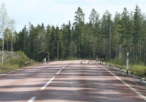 Älgko med två fjolårs kalvar som hon snart överger, går över E45 vid Kättbo. Foto taget 2007-05-10 vid Kättbo av Göran Eriksson i Malung.