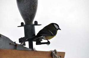 Talgoxar och domherrar kommer regelbundet till fågelbordet.