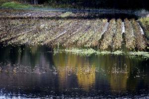 Så här vattensjukt är det på ett av potatisodlarnas områden.