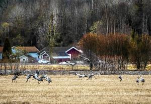 Det var mycket snö på Juniåkrarna mellan Skottsund och Mjösund i Njurunda när de första fåglarna anlände i mitten av april.