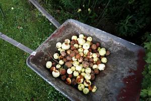 Varje sommar får Yvonne Aurosell slänga 17 skottkärror med överbliven frukt. Numera lämnar hon många äpplen till fruktförmedlingen vilket gör att flera kan ta del av sommarens dyrbarheter.