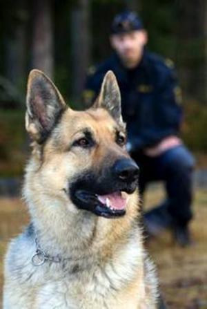 Schäferhanen Åke har valts till Årets polishund 2008. Här syns han tillsammans med sin förare polisassistent Andreas Tengqvist.Foto: Helene Svensson
