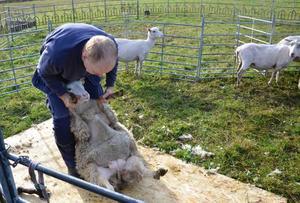 Per Eriksson vet precis hur han ska greppa fåret för att skapa lugn vid klippningen.