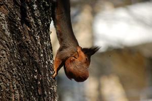 När det är dags att byta bo får man som hålla hårt om nacken. Ekorre flyttar sin unge från det ena boet till det andra, en spännande utflykt eftersom det hoppades mellan träd och grenar för att komma fram till det nya boet.