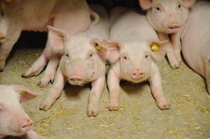 De här grisarna börjar är ett par veckor gamla. Nu börjar de närma sig den magiska vikten, 30 kilo, när Spångboda Lantbruk säljer dem vidare till nästa grisgård.