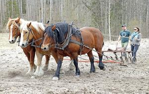 Ardennerhästarna Emilia, Ville och Tonella drar harven efter sig. Elin Gilmark testar att styra tre-spannet under överinseende av Tobias Andersson.