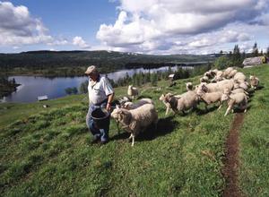 Gösta Åström är femte generationen fjällbonde på Blomhöjden, fem mil ut i skogen från landsvägen mellan Strömsund och Gäddede där han sköter både nötkreatur och får.