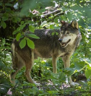 En infekterad fråga. Naturskyddsföreningen och Världsnaturfonden  vill att arbetet i vargkommittén återupptas. Foto: Jonas Ekströmer/TT