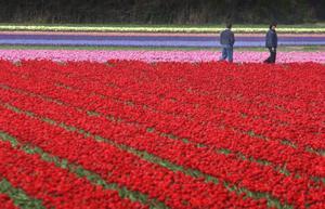 En bild av Nederländerna eller som landet också kallas Holland som lockar många turister men holländarna själva vill hellre....