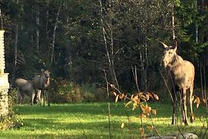 En älgko med två kalvar har observerats vid ett flertal tillfällen i Bruket på Blidö. Den här familjen fotograferades dagen innan attacken av en släkting till Birgitta Andersson i närheten av den plats där älgkon anföll.