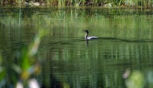 Simmar. Skarven simmar omkring i Dalsbysjön.