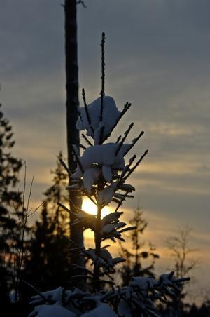 Solnedgång bakom en gran