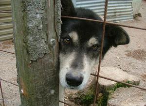 Den här hunden tycks gömma sig bakom en stolpe. Flera gånger ställde den sig vid stolpen och stirrade in i kameran