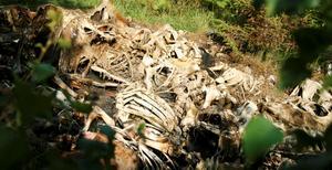 Hästskelett. Så här såg kadavren ut när de hittades för två år sedan, och nu har det uppdagats att de fortfarande ligger kvar i skogen utanför Hästbäck.