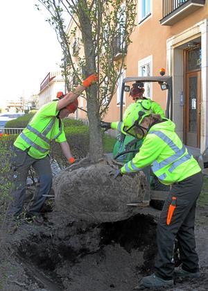 Ett halvt ton träd. Från vänster Fredrika Lundberg och Julia Vest. Henrik Lundvall sköter spakarna.