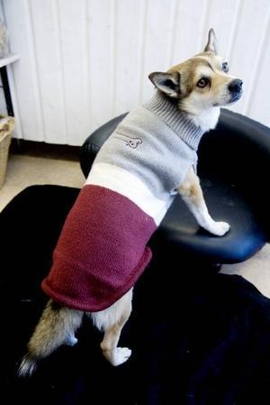 SNYGG ELLER HUR? En klädsam stickad långtröja med polo som nog kan värma en liten hund på promenad i ett höstruskigt Gävle.