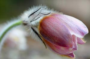 Vackra mosippan på Kjulaåsen i Eskilstuna. Fridlyst växt!