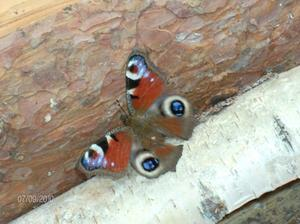 Fann denna vackra sommarfjäril ute i vedhögen som man håller på att stapla ner i källaren