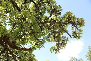 Päronträdet är gammalt och bär ingen frukt i år. Orsaken är köldknäpparna tidigare i vår, berättar Björn och Britt.