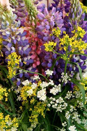 Lagom till skolavslutningen blommar lupiner och andra blommor i alla dess färger.