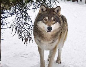 Inga vargar får skjutas i Gävleborg.