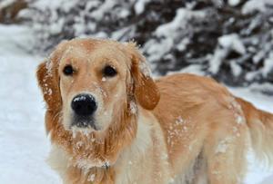 Norge inför samma regler för hundar från Sverige som från övriga EU. Reglerna gör att detblir dyrare och krångligare än i dagsläget för djurägare att åka mellan Sverige och Norge.